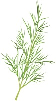 illustration of a sprig of dill