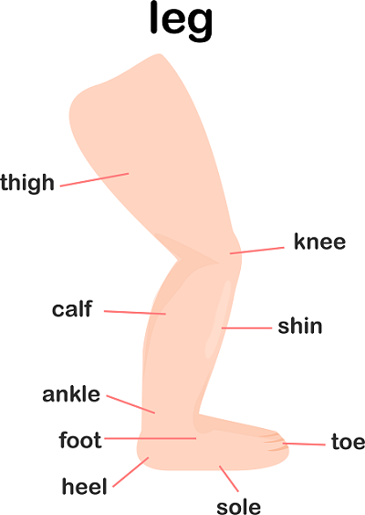 Illustration of the leg with individual parts identified