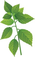 illustration of a sprig of mint