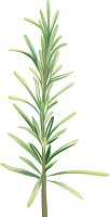 illustration of a sprig of rosemary